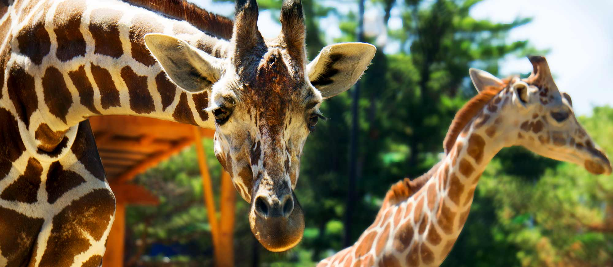 giraffes-looking-saurated-and-lighting-fixed